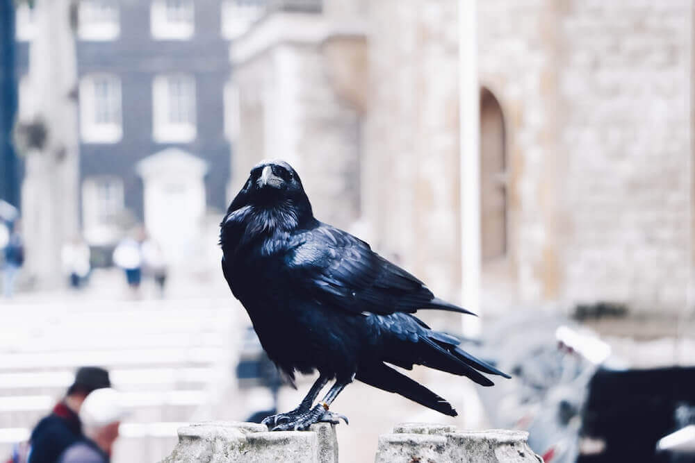 ravens-betting